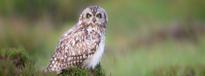 Short Eared Owl on Heather Moorland