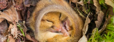 """Common or Hazel Dormouse, in torpor in nest"""